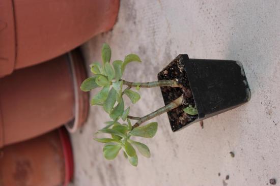 Crassula arborescens 'Undulatifolia'