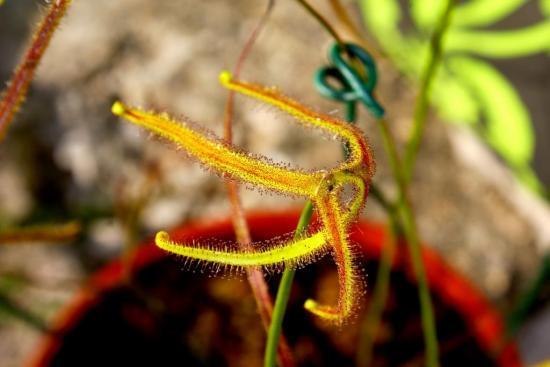 Drosera binata