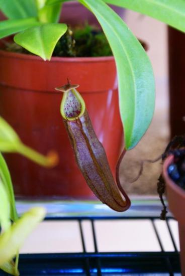 Nepenthes sanguinea 'Black Beauty'