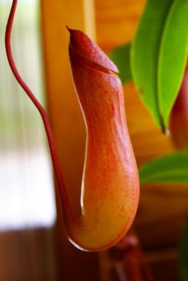 Urne de Nepenthes x 'Ventrata'