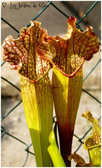 Sarracenia x 'Mitchelliana'