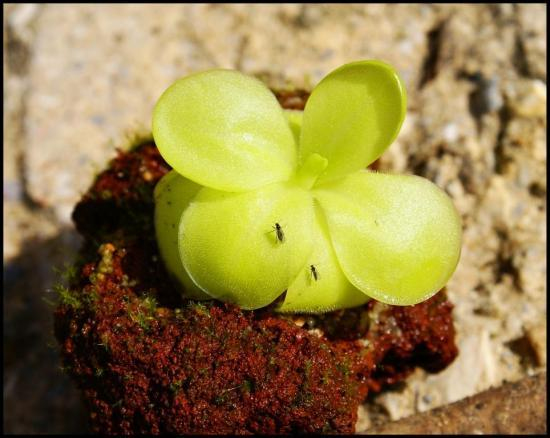 Pinguicula x tina issue de bouture