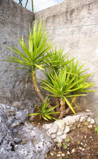 Yucca aloïfolia