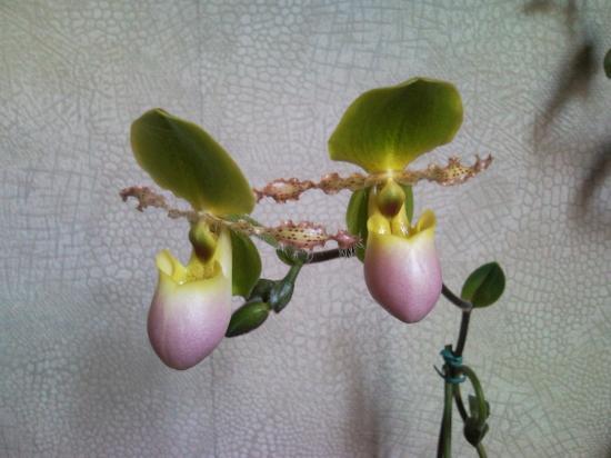 Paphiopedilum moquettianum x primunilum