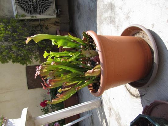 Mélange de Sarracenia en pot
