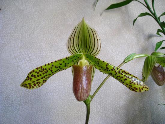 Paphiopedilum sukhakulii x kolopakingii (Fleur)