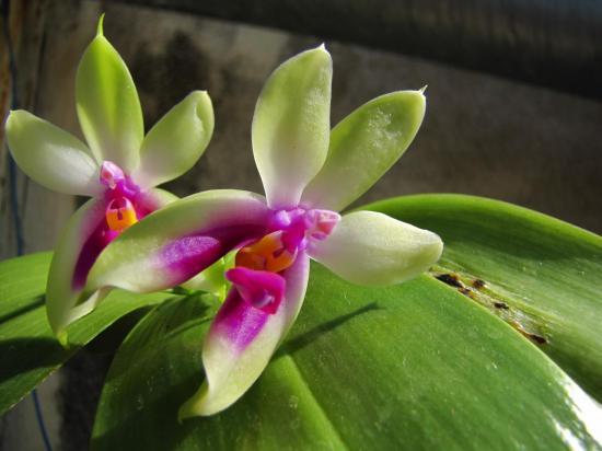 Phalaenopsis bellina (Fleurs)