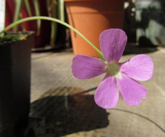 Pinguicula x 'Sethos' (Fleur)