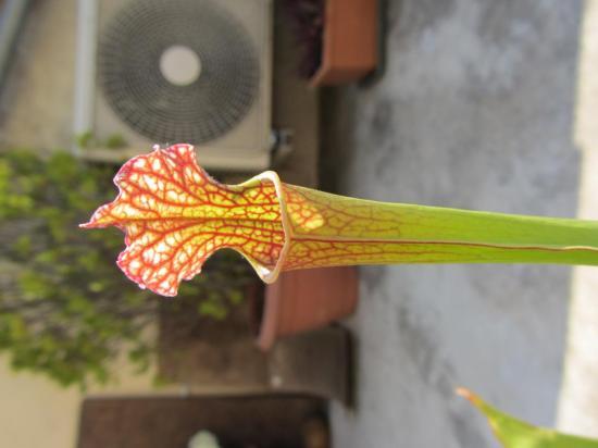 Sarracenia x 'Readii'